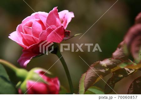 ピンクのバラ 品種:シャンテロゼミサト 70060857