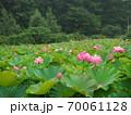 かわいい蓮の花 70061128