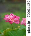 美しい蓮の花 70061129