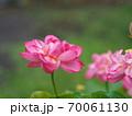 美しい蓮の花 70061130