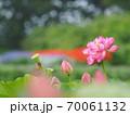 美しい蓮の花 70061132