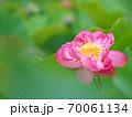 美しい蓮の花 70061134