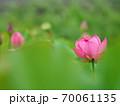 美しい蓮の花 70061135