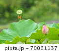 蓮の花 70061137