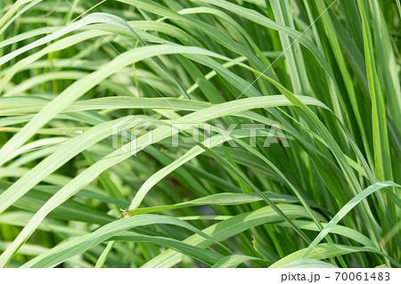 レモングラス(学名:Cymbopogon citratus)の葉(ハーブ、精油原料) 70061483