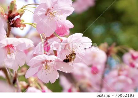 満開の桜の花の蜜を集めているミツバチ 70062193