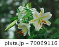 ヤマユリ 70069116