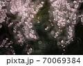 シダレザクラ 70069384