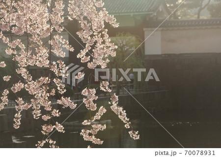夕方に撮影した皇居お堀のしだれ桜 70078931
