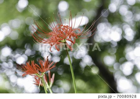 陽の射し込む森を背景に咲く赤い彼岸花 70080928