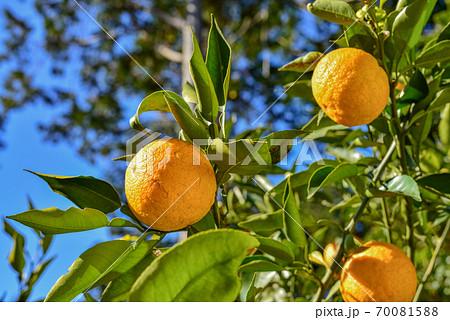 ジャバラの木と果実 70081588