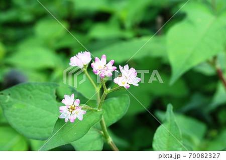 今年も咲き始めたミゾソバ(溝蕎麦)の花 70082327