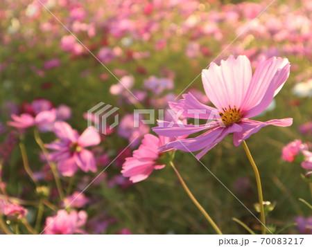 秋の夕暮れにコスモス畑で撮った満開のコスモス達 70083217