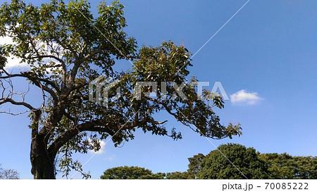 変わった樹形の桐の大木 70085222