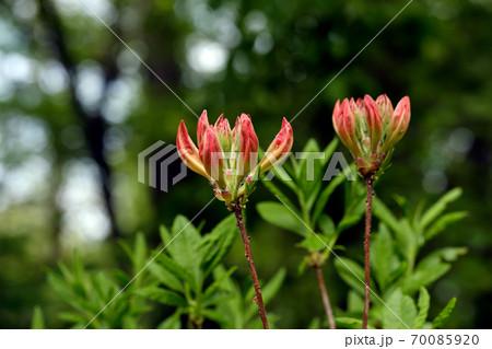 もうすぐ開花・レンゲツツジのつぼみ 70085920
