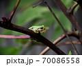 猛暑を生き延びて成長した庭のアマガエル 70086558