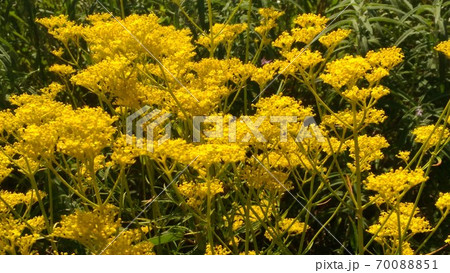 秋の七草おみなえしの黄色い花 70088851