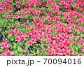 春に赤い花を咲かせたツツジと推定される樹木を撮影した写真 70094016