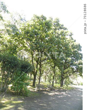 色づき始めた昭和の森のカシワの木 70128686