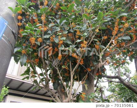 香りの良いオレンジ色の花を咲かせたキンモクセイ 70135061