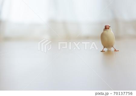 可愛い白い小鳥(白文鳥) 70137756