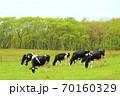 ホルスタイン牛 70160329
