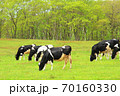 ホルスタイン牛 70160330