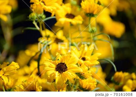 たくさん咲いたヤナギバヒマワリの花 70161008