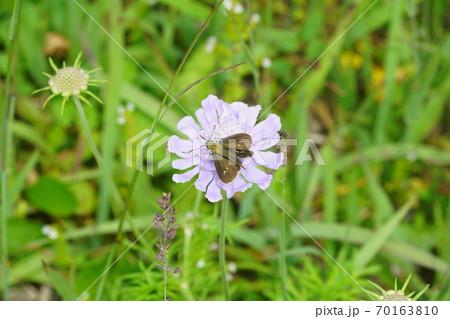 マツムシソウの蜜を吸うオオチャバネセセリ 70163810