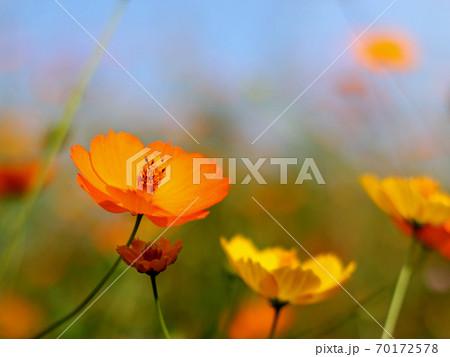 秋の青空とオレンジ色のコスモスの花 70172578