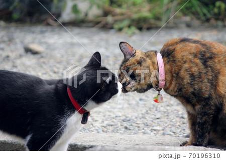 鼻先で挨拶するハチワレ猫とサビ猫 70196310