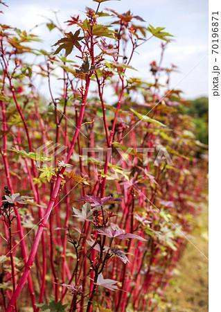 生け花の素材唐胡麻の畑 70196871
