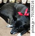 リボンを結んだ黒い犬 70198216