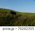 丘を上る黒毛の牛 70202355