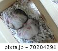 2匹で添い寝するジャンガリアンハムスターノーマルとパールホワイト 70204291
