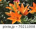 ユリの花 70211008