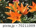 ユリの花 70211009