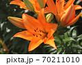 ユリの花 70211010