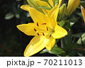 ユリの花 70211013