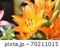 ユリの花 70211015