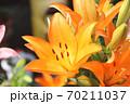 ユリの花 70211037