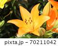 ユリの花 70211042