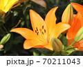 ユリの花 70211043