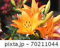 ユリの花 70211044