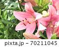 ユリの花 70211045