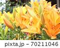 ユリの花 70211046