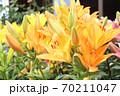 ユリの花 70211047