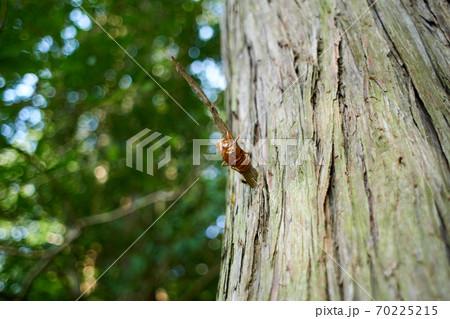 枝につかまった・セミの抜け殻・アップ 70225215