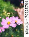 秋の里山に咲くピンクの秋桜(コスモス) 70225794