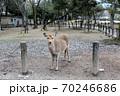 奈良公園の鹿 70246686